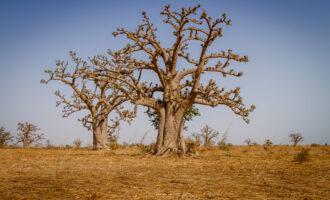 Massive,Baobab,Trees,In,The,Dry,Arid,Savannah,Of,South