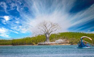 A,White,Baobab,Stands,Near,The,Water,In,Saloum,Bird